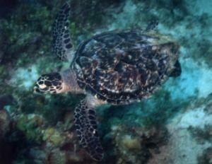 Logger Head Turtle, Negril, Jamaica, Ikelite Housing, Nik... by Philip Norris