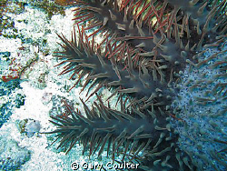 Closeup of a Crown of Thorns Starfish. The scourge of ou... by Gary Coulter