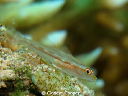 Ghost goby by Cigdem Cooper