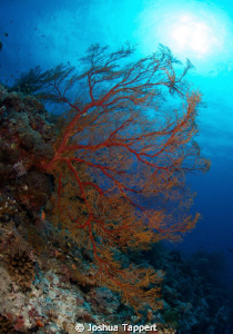 Tubbataha Red Sea fan by Joshua Tappert