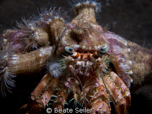 Anemone Hermit Crab on a nightdive at Alam Batu Housereef by Beate Seiler
