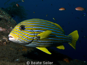 Sweetlip at the Liberty shipwreck / Tulamben in Bali by Beate Seiler