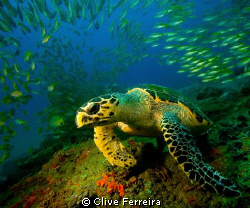 Loggerhead at Doodles, Ponta D 'Ouro by Clive Ferreira