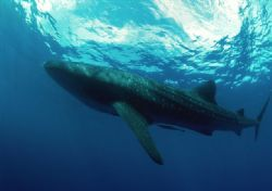 Whale shark gently gliding under surface - Nikon F100 - 1... by Viora Alessio