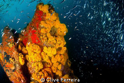 Yellow Turrets open in late afternoon dive by Clive Ferreira