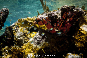 Sergent Majors with coral by Bruce Campbell