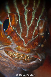 cardinal fish with mouth brood by Dave Baxter