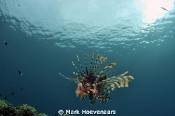 A Lionfish patrols the Paradise Reef, the house reef of P... by Mark Hoevenaars