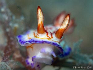 Hypselodoris species by Brian Mayes