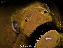 Gymnothorax javanicus by Alex Varani