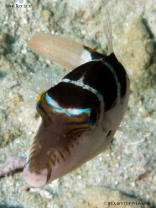Crowned toby (Canthigaster coronata) by Bea & Stef Primatesta