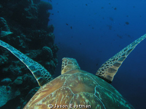 'Turtle Cam' Northern Great Barrier Reef, Australia by Jason Eastman