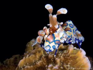 Harlequin shrimp by Aleksandr Marinicev