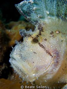 Leaf scorpionfish, taken at the Alam Batu house reef , wi... by Beate Seiler