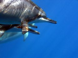 Spinner dolphins taken in La Perouse Bay, Maui. Dolphin i... by Don Bruschera