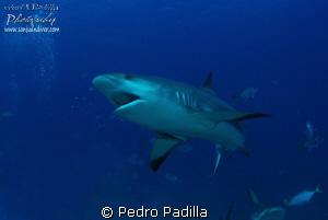 Carribean Reef Shark, Bahamas.  Nikon D80 with 15mm lens... by Pedro Padilla