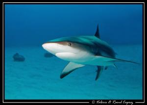 Nice encounter (Carcharhinus perezi) by Raoul Caprez