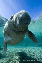 Crystal River Manatee, baby. by Becky Kagan