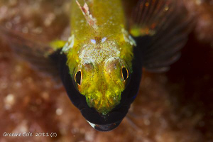 Yellow back threefin taken 100mm macro on its first dive. by Graeme Cole