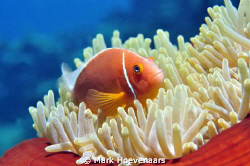 Pink Anemonefish. Nikon D90 in Aquatica housing, 60mm, f8... by Mark Hoevenaars