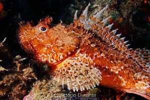 Red scorpion fish - Scorpaena scrofa by Vittorio Durante