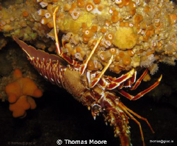 Crayfish taken off of Inis Mor of the Aran Islands in Gal... by Thomas Moore