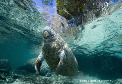 manatee in crystal river. by Becky Kagan