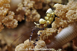 "Peacock-Tail Anemone Shrimp on a Flower Anemone at ""Small... by Mark Hoevenaars"