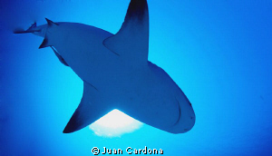 Impressive dives with bull sharks by Juan Cardona