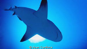 Impressive dives with bull sharks by Juan Cardona