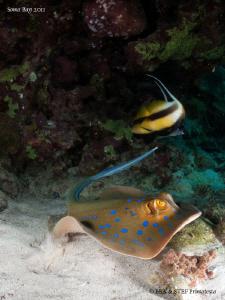 Blue spotted stingray. by Bea & Stef Primatesta
