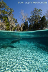 A resting manatee comes up for a breath of air while napp... by Becky Kagan