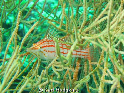 "Hawk Fish "" bet you can't see me by Karl Hodgkins"