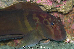 """Red Streaked Blenny (about 2"""" long) Notice the cute frin... by Gary Coulter"""