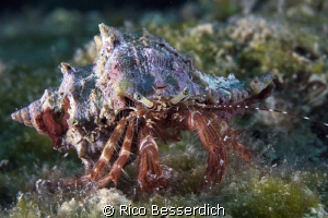 "Hermid Crab with a nice ""Sombrero"" hat ;-) by Rico Besserdich"