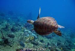 Green Turtle @ El Natural Beach Aguadilla PR by Carlos Pérez