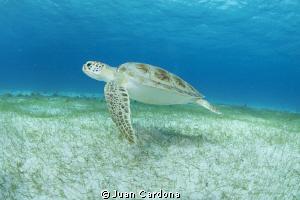 sea turtle swimming along the sandy bottom .. by Juan Cardona