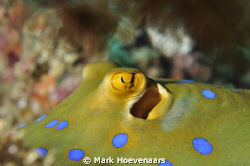 Blue-spotted Stingray. Rainbow Passage - Fiji. Nikon D90 ... by Mark Hoevenaars