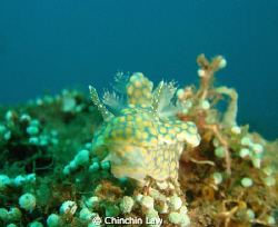 sinuate ceratosoma, maumere by Chinchin Law