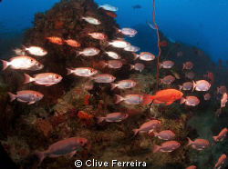 Typical Seychelles underwater scene, school of big eyes by Clive Ferreira