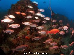 Typical Seychelles underwater scene, school of big eyes by Clive Ferreira