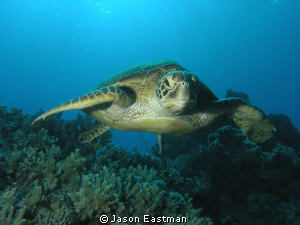 Inquisitive Green Turtle  Northern Great Barrier Reef, A... by Jason Eastman