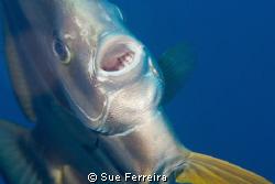 Close up batfish by Sue Ferreira