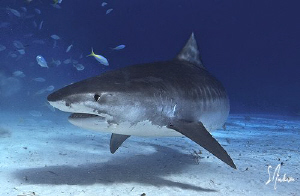 One big Tiger Shark taken Beach Bahamas
