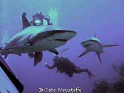 Shark Dive with Caribbean Reef Sharks on Aqua Cat Liveabo... by Cate Wagstaffe