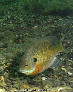 Bluegill Sunfish. Photo taken at local quarry, Windmill P... by David Gilchrist