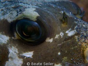 Eye of a pufferfish, taken with Canon G10 and UCL165 by Beate Seiler