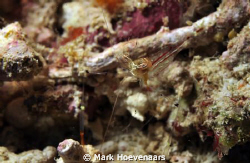 """Unidentified Commensal Shrimp"" according to Reef Creatur... by Mark Hoevenaars"
