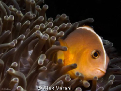 amphiprion akallopisos by Alex Varani
