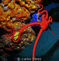 Red Serpent Star @ Crash Boat Beach Aguadilla PR by Carlos Pérez